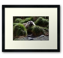 Southern Elephant Seal in the Tussock Grass, Macquarie Island  Framed Print