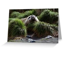 Southern Elephant Seal in the Tussock Grass, Macquarie Island  Greeting Card