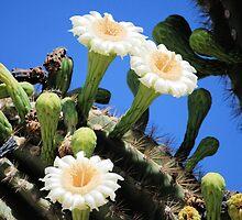 Flowering Cactus by Kathleen Brant