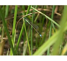 Dragonfly Among the Reeds Photographic Print