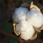Texas Cotton - Closeup by amandameans