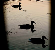 Ducks Silhouetted by Jenny Wright