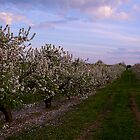 Apple Blooms by BigRPhoto