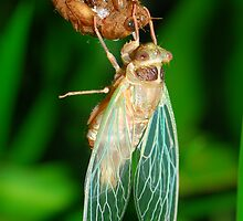 Emergent cicada by Stewart Macdonald