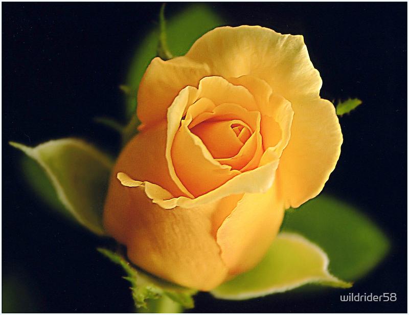Beautiful Bloom by wildrider58
