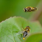 Hoverfly Egg Laying ? by relayer51