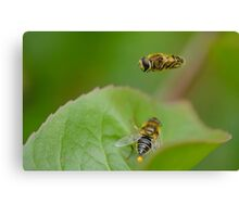 Hoverfly Egg Laying ? Canvas Print