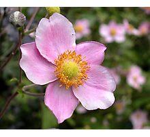 Pink Japanese Anemone Photographic Print