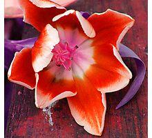 The painter's tulip Photographic Print