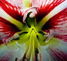 Amaryllis by DarrylEPalmer