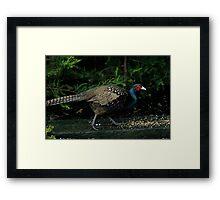 A Peacock / Pheasant Cross Framed Print
