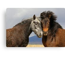 Beauties - Icelandic horses  Canvas Print