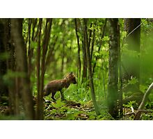 Red fox puppy in forest Photographic Print
