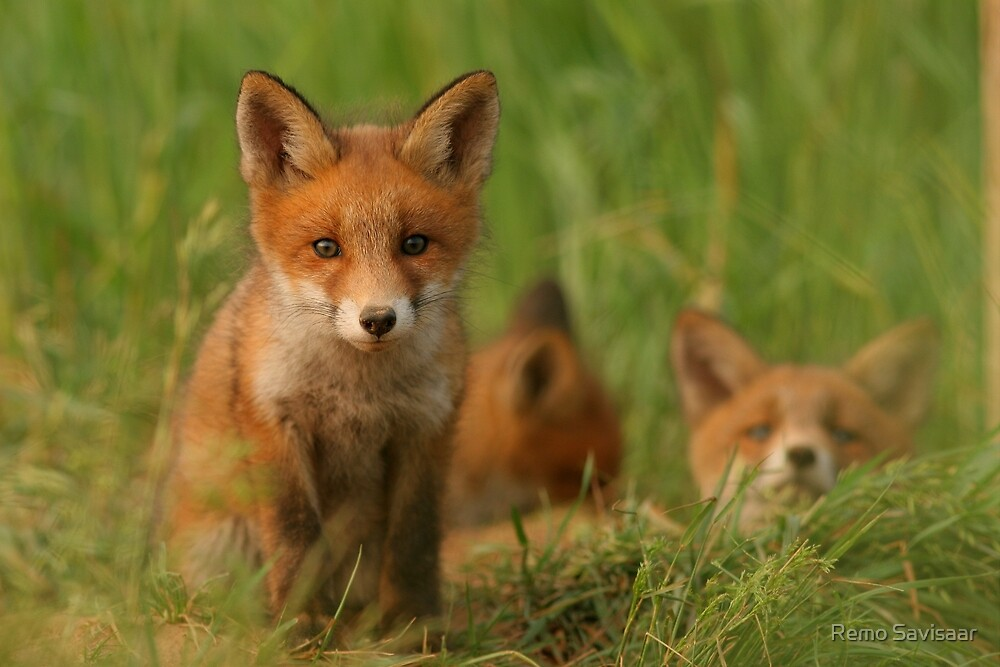 Red fox puppies by Remo Savisaar