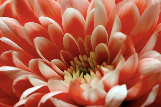 Chrysanthemum by Paul Morley