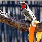 Rooikophoutkapper / Black-collared barbet  by Elizabeth Kendall