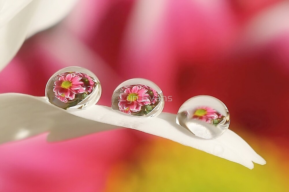 Daisy dew drops by Lyn Evans