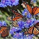 Monarch butterflies by patapping