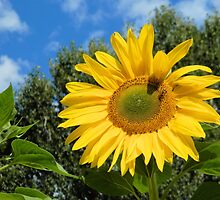Sunflower and Bee by Kathleen Brant