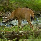 Sneeky Buck by BigRPhoto