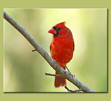 Northern Cardinal in Golden Light by Bonnie T.  Barry