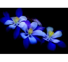 columbines Photographic Print