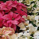 Passel of Poinsettias by Monnie Ryan