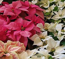 Passel of Poinsettias by Monnie Ryan