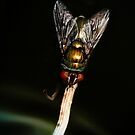 Nocturnal Fly by Lesley Smitheringale