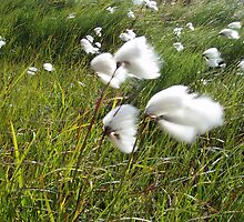 Cotton Grass by dragonflyblue
