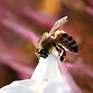 Bee on Jasmine by Lesley Smitheringale
