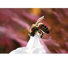 Bee on Jasmine Photographic Print