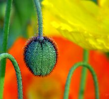 New poppy on the way by Mary Trebilco