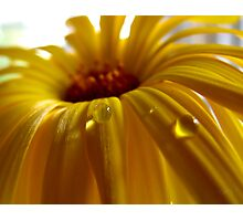 Calendula pearl Photographic Print
