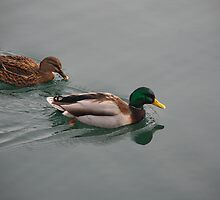 Intruducing   Mr and Mrs Duck by deville