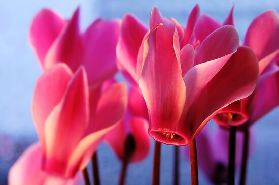Cyclamens by Lucy Hollis