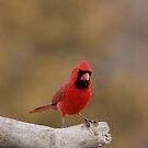 bright red cardinal by Gregg Williams
