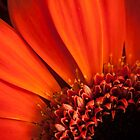 Detail of a flower by DavidCucalon