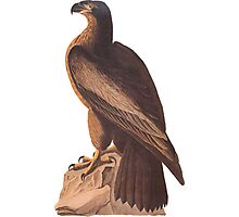 Audubon Young Bald Eagle Photographic Print