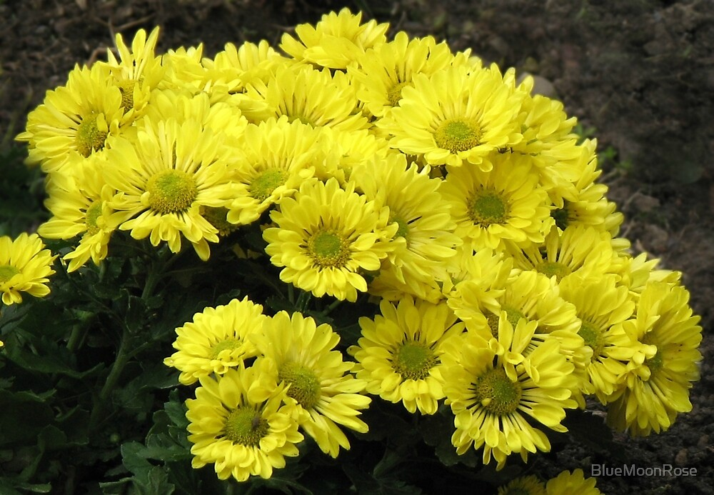 Startlingly Yellow Chrysanthemums by BlueMoonRose