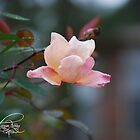 pink rose by MorganAshley