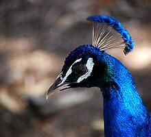 Peacocking by Sarah Miller