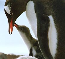 Gentoo Penguin and Chicks by Steve Bulford