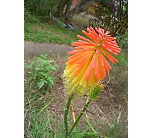 Red Hot Poker Photographic Print