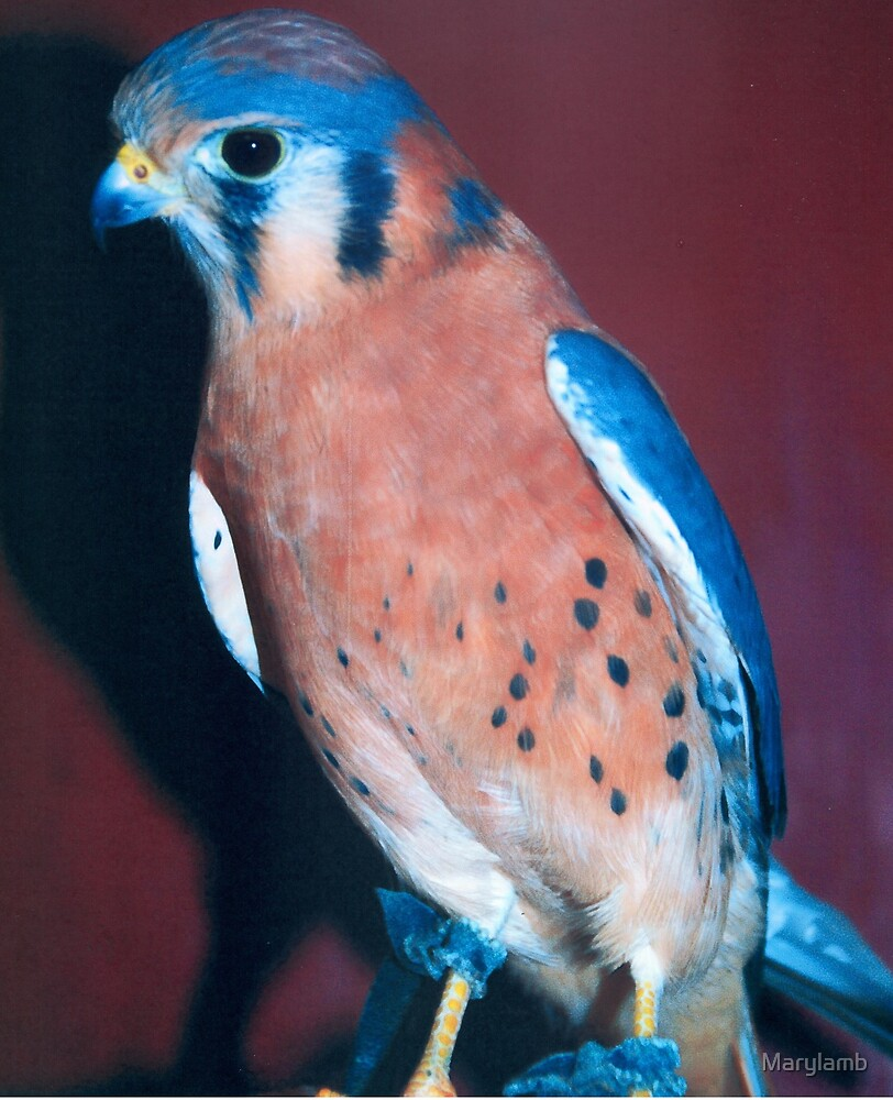 Puck the Kestral by Marylamb