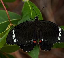 Male Orchard Swallowtail Butterfly by JLOPhotography