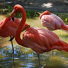 Flamingo by Aris