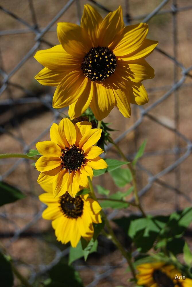 Sun Flower Patch by Aris