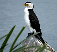 Little Pied Cormorant by Fred O'Donnell