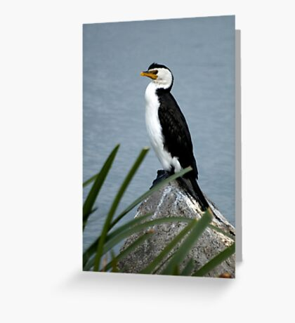 Little Pied Cormorant Greeting Card